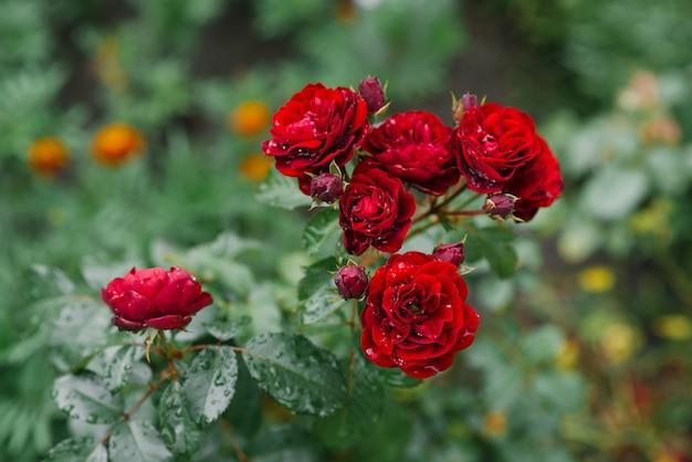 Czerwone kwiaty róż w ogrodzie po deszczu