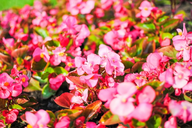 Czerwone kwiecie w kwietnikach w petersburgu