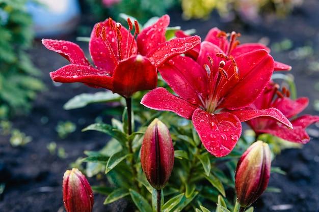 Czerwone lilie z kroplami deszczu