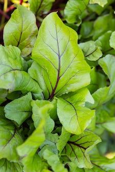 Czerwone liście buraków w ogrodzie. tło liści buraka