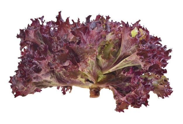 Czerwone liście dębu sałaty na białym tle