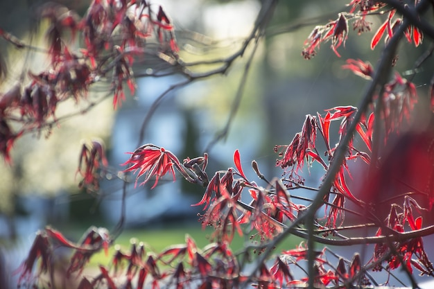 Czerwone liście drzewa newmaple japońskie czerwone liście klonu