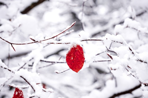 Czerwone liście i śnieg w sezonie zimowym