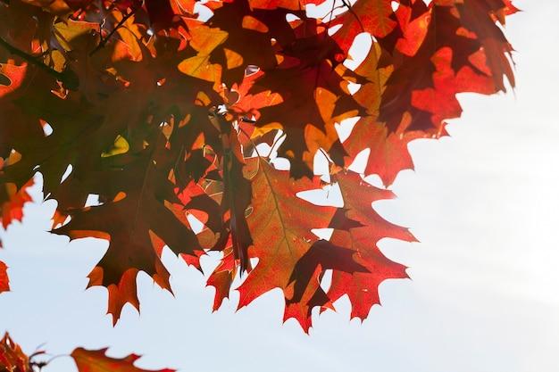 Czerwone liście klonu na młodych gałęziach klonu latem, drzewo o czerwonych liściach o każdej porze roku, oświetlone światłem słonecznym