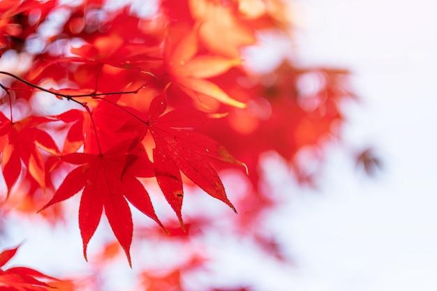 Czerwone liście klonu w ogrodzie z miejscem na kopię tekstu, naturalne tło na sezon jesienny i wibrująca koncepcja opadających kolorowych liści