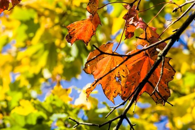 Czerwone liście klonu w sezonie jesiennym, prawdziwa jesienna przyroda w popołudniowy dzień