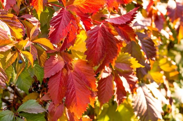 Czerwone liście pnączy bluszczu