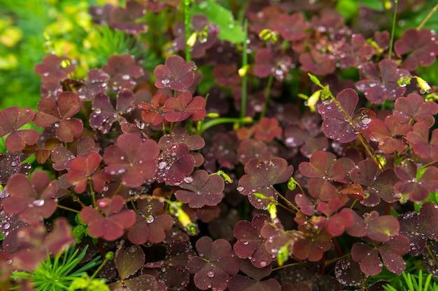 Czerwone liście szczawiu leśnego wśród innych trawiastych roślin podczas deszczu