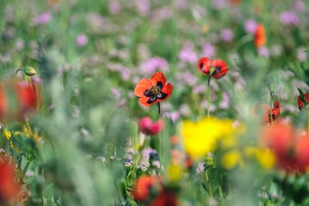 Czerwone maki kwitnące na polu z innymi dzikimi kwiatami i ziołami.