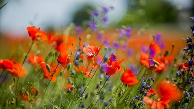 Czerwone maki między fioletowymi kwiatami. czerwoni maczki na łące na lato słonecznym dniu. kwiaty czerwone maki kwitną na dzikim polu. kwiaty na polu