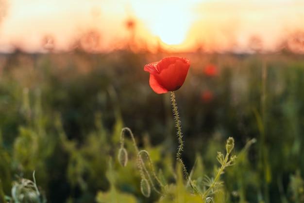Czerwone maki na polu o zachodzie słońca z selektywnym skupieniem