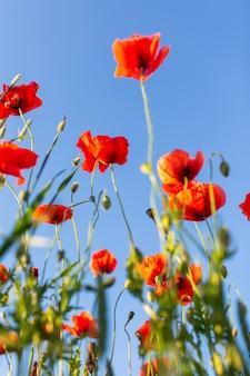 Czerwone maki na tle błękitnego nieba w słoneczny dzień, strzelać od dołu.