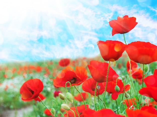Czerwone maki na tle błękitnego nieba