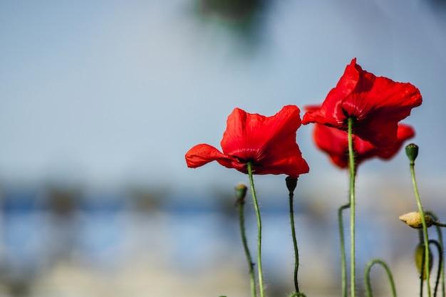 Czerwone maki na wietrze przeciw błękitne niebo