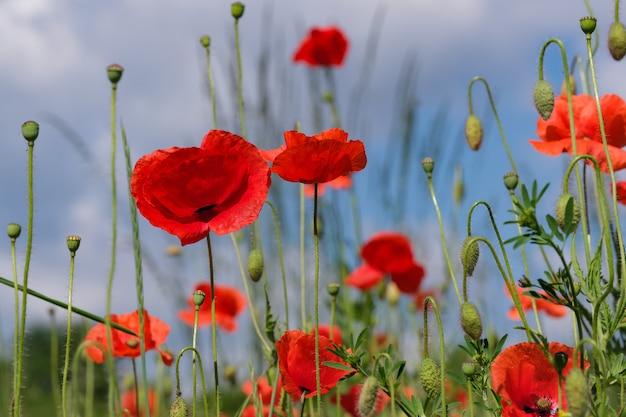 Czerwone maki pięknie kwitną na tle błękitnego nieba w słoneczny letni dzień z bliska