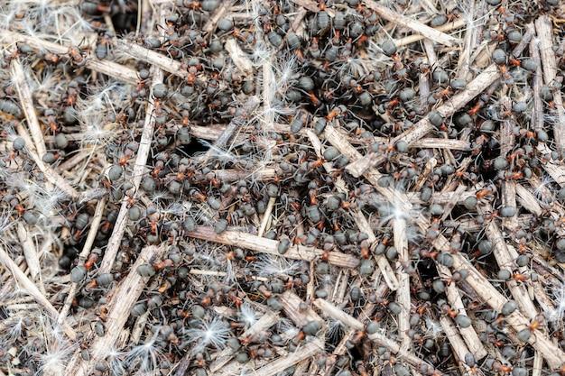 Czerwone mrówki i nasiona mniszka lekarskiego
