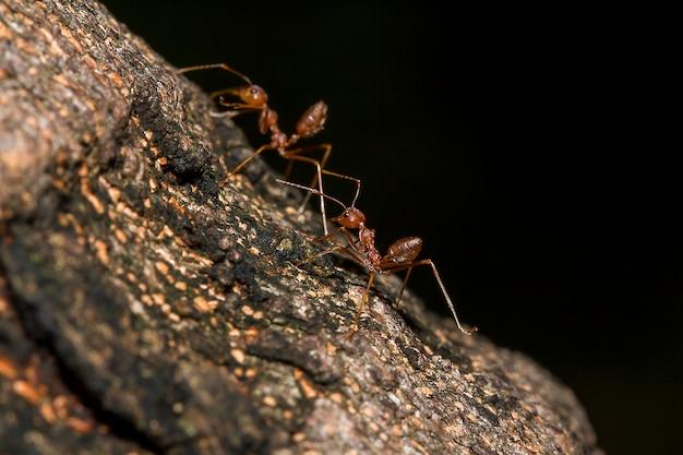 Czerwone mrówki na drzewie