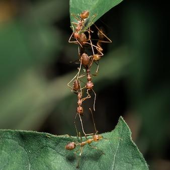 Czerwone mrówki na liściach