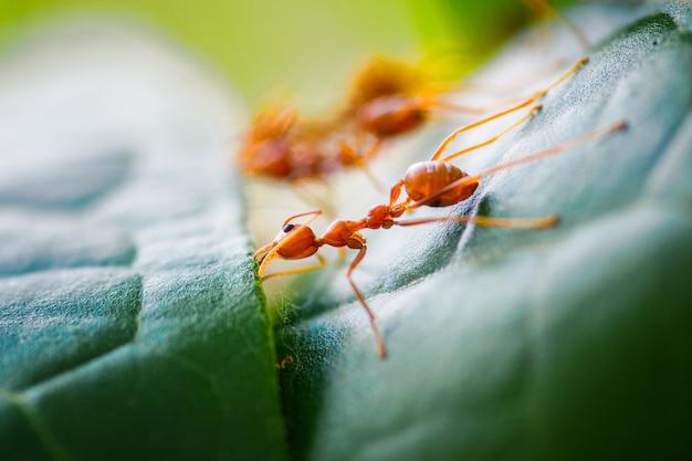 Czerwone mrówki z bliska tworzą swoje skrzynki z liśćmi.