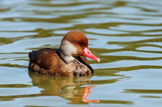 Czerwone oko kaczki na jeziorze