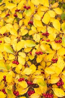 Czerwone owoce głogu. żółte liście