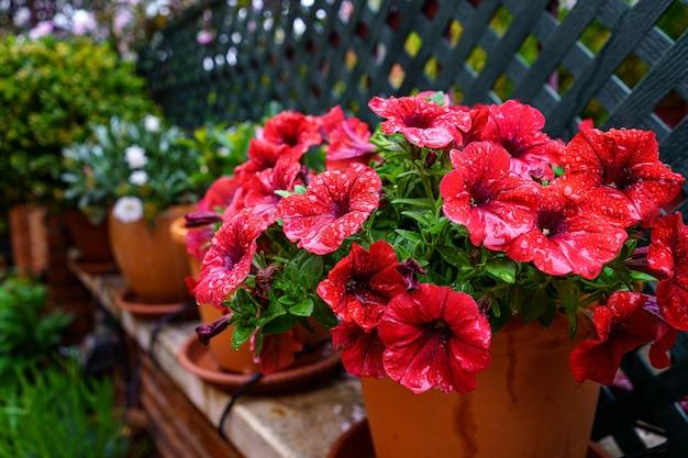 Czerwone petunie kwitną kroplami wiosennej wody deszczowej. madryt.