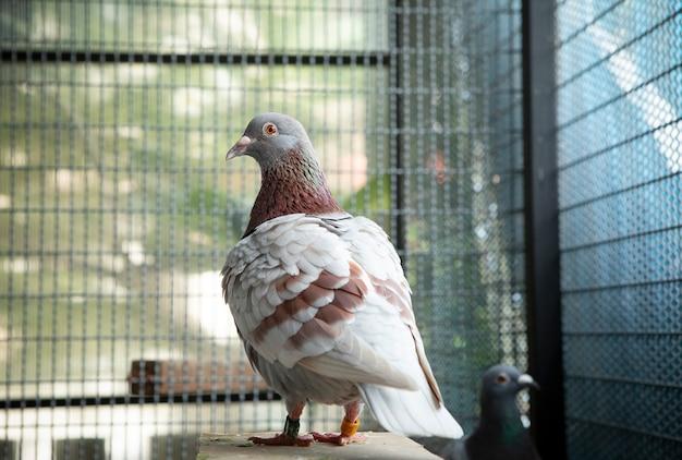 Czerwone piórko choco gołębia wyścigowego w domowym lofcie