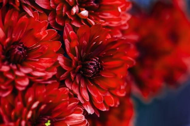 Czerwone płatki dalia makro, kwiatowy streszczenie tło. zbliżenie z dalii flowes, chryzantemy na tle, nieostrość...