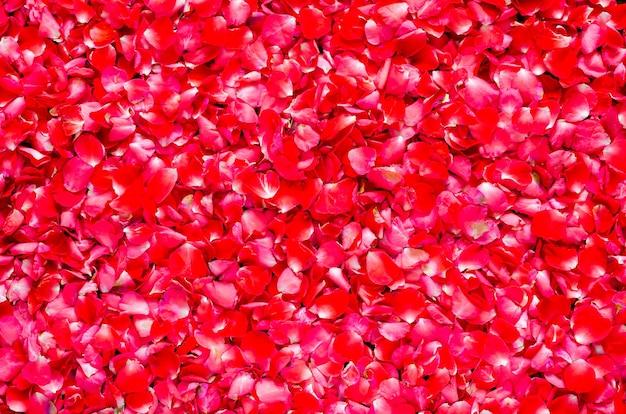 Czerwone płatki róż kwiat tło na walentynki i koncepcja miłości.