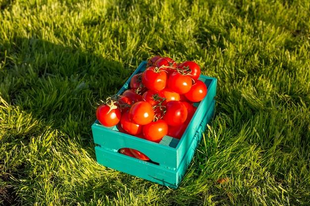 Czerwone pomidory leżą w niebieskim drewnianym pudełku na zielonej trawie oświetlonej światłem słonecznym. koncepcja zbioru