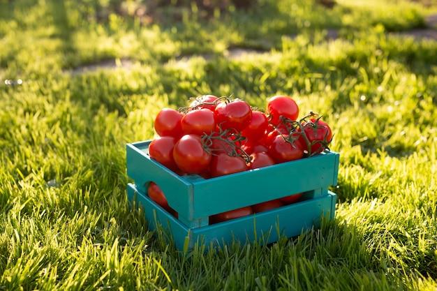 Czerwone pomidory leżą w niebieskim drewnianym pudełku na zielonej trawie oświetlonej światłem słonecznym.