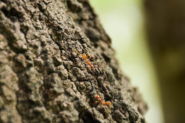 Czerwone pożarnicze mrówki na gałąź w naturze zielenieją tło