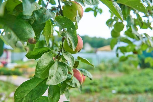 Czerwone pyszne jabłko. błyszczące pyszne jabłka zwisające z gałęzi drzewa w sadzie jabłkowym