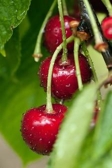 Czerwone pyszne wiśnie na drzewie