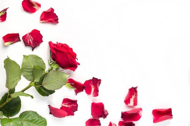 Czerwone róże i płatki róż na białym tle. tło copyspace