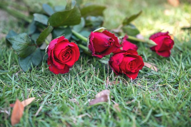 Czerwone róże kwitną na tle pola zielonej trawie