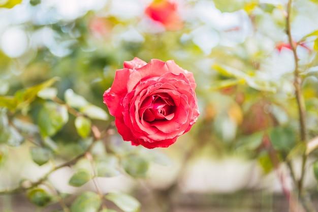 Czerwone róże na świeżym zielonym liściu