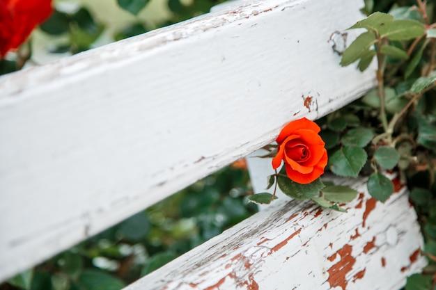 Czerwone róże obok białej drewnianej ławki w parku. selektywna ostrość