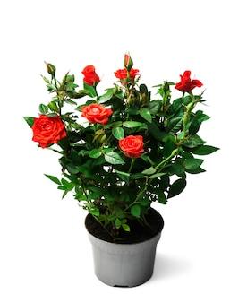 Czerwone róże w garnku na białym tle