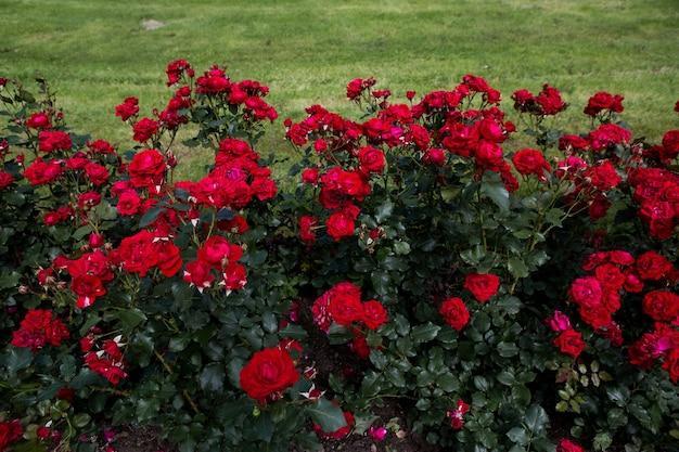 Czerwone róże w ogrodzie o