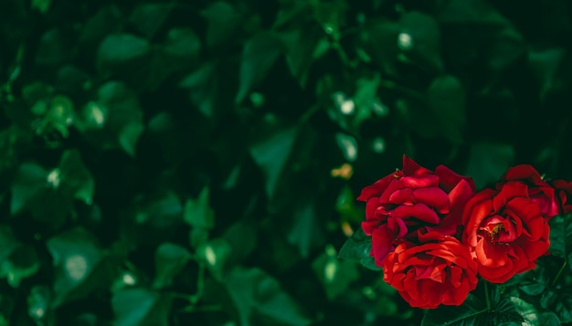 Czerwone róże w pięknym ogrodzie kwiatowym jako tło kwiatów