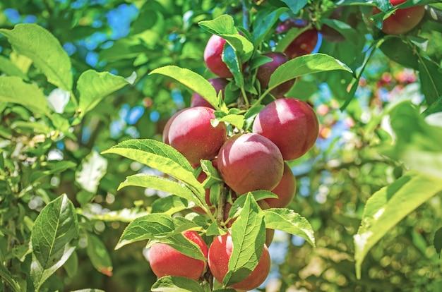 Czerwone śliwki na gałęzi