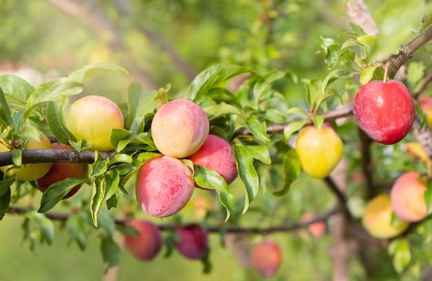 Czerwone śliwkowe owoc na gałąź z zielonymi liśćmi rw ogródzie. śliwka