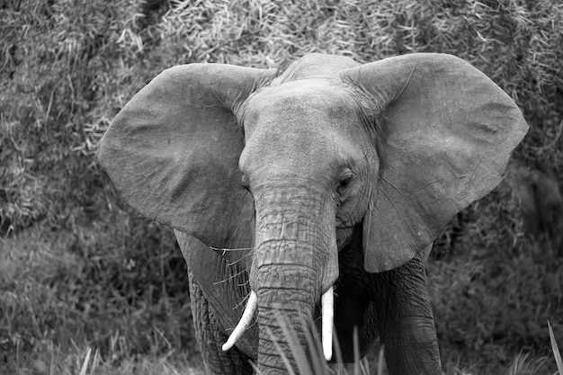 Czerwone słonie chodzą po sawannie między roślinami