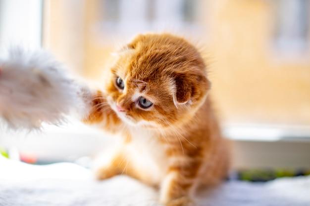 Czerwone szkockie kocięta