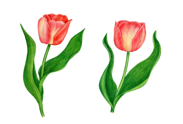 Czerwone tulipany botaniczna ilustracja akwarela. kolekcja vintage