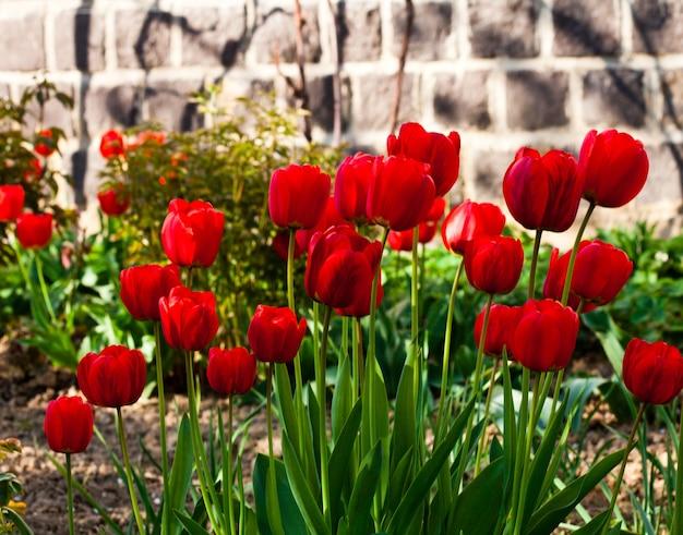 Czerwone tulipany kwietnik zbliżenie na wiosnę