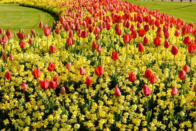 Czerwone tulipany w pobliżu pałacu buckingham w londynie