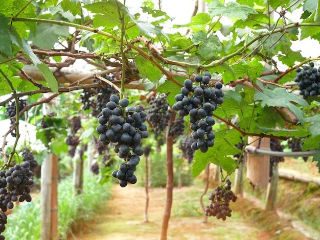 Czerwone wino z winogron wiszące na winnicy.