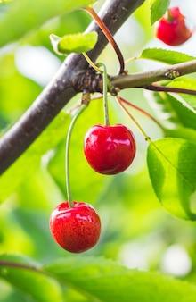Czerwone wiśnie na drzewie, format pionowy